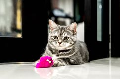 Cute little cat American Shorthair Royalty Free Stock Images