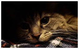Cat peeking from under a blanket royalty free stock photography