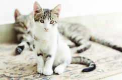 Cute little cat sitting with his mother in the background Royalty Free Stock Photography