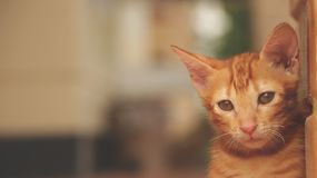 Cute Little Cat Sitting by Yellow Wall - Sad Face royalty free stock photography