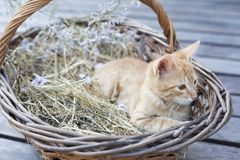 Little cat in wicker basket royalty free stock photo