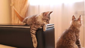 Cute little cats at home. Kuril Bobtail kitten. Lovely little cats in a home setting. Two cats sit on the couch. One cat sits on the handle of the sofa and looks stock video footage