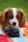 Cute little Cavalier King Charles Spaniel lying on the blanket and chewing grapes branch Royalty Free Stock Image