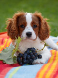 Cute little Cavalier King Charles Spaniel lying on the blanket and chewing grapes branch Stock Photo