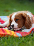 Cute little Cavalier King Charles Spaniel lying on the colorful blanket with grapes in his mouth Stock Image