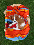 Cute little Cavalier King Charles Spaniel lying on the colorful blanket in the wooden basket Royalty Free Stock Image