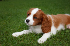 Cute little Cavalier King Charles Spaniel lying on the grass Royalty Free Stock Photography