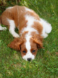 Cute little Cavalier King Charles Spaniel lying on the grass and looking into photographer Stock Images