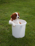 Cute little Cavalier King Charles Spaniel peeking from the white plastic bucket Royalty Free Stock Images