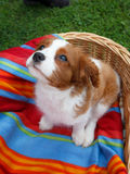 Cute little Cavalier King Charles Spaniel sitting on the colorful blanket in the wooden basket Stock Image