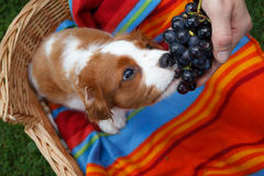 Cute little Cavalier King Charles Spaniel sitting on the colorful blanket in the wooden basket eating the grapes from the hand royalty free stock image