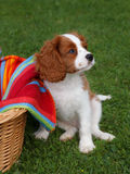 Cute little Cavalier King Charles Spaniel standing next to wooden basket Stock Photo
