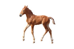 Cute little chestnut foal trotting isolated on white Royalty Free Stock Images