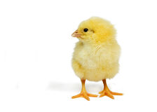 Cute little chick Stock Photography