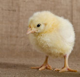 Cute little chick Stock Photo