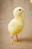 Cute little chick Stock Images