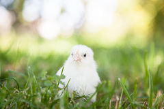 Cute little chick Royalty Free Stock Photography