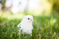 Cute little chick Stock Photo