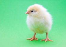 Cute little chick Royalty Free Stock Photos