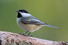 Cute Little Chickadee Royalty Free Stock Image