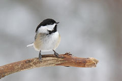 Cute Little Winter Chickadee. A black-capped chickadee (Poecile atricapillus) perching on a branch in winter Stock Images