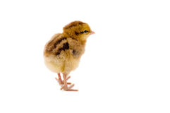 Cute little chicken Stock Images