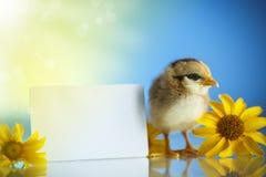 Cute little chicken Stock Photos