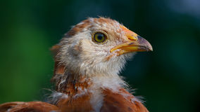 Cute Little Chicken Close-Up (16:9 Aspect Ratio) Stock Images