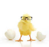Cute Little Chicken Coming Out Of A White Egg Royalty Free Stock Photos