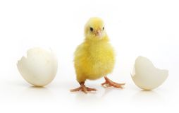 Cute little chicken coming out of a white egg Stock Photo