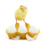Cute little chicken coming out of a white egg Stock Image