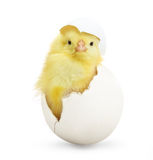 Cute little chicken coming out of a white egg. Isolated on white background royalty free stock photography