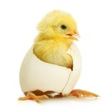 Cute little chicken coming out of a white egg Stock Images