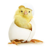 Cute little chicken coming out of a white egg. Isolated on white background royalty free stock images