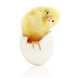 Cute little chicken coming out of a white egg Stock Photos
