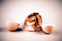 Cute little chicken coming out of a white egg isolated on white Royalty Free Stock Image