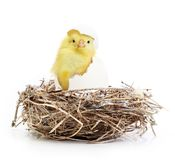 Cute little chicken coming out of a white egg in Stock Photos
