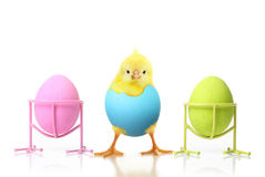 Cute little chicken and Easter eggs Stock Photography