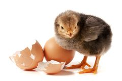 Cute little chicken with egg on white background.  royalty free stock image
