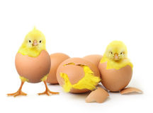 Cute little chicken and eggs Royalty Free Stock Image