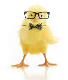 Cute little chicken in glasses Stock Image