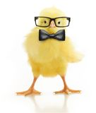 Cute little chicken in glasses Royalty Free Stock Image