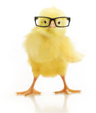 Cute little chicken in glasses Royalty Free Stock Photo