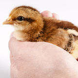 Cute little chicken in the hand isolated on white Royalty Free Stock Photography