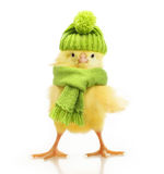Cute little chicken isolated stock photography