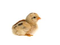 Cute little chicken isolated on white background Stock Images