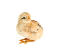 Cute little chicken isolated on white background Stock Image