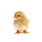 Cute little chicken isolated on white background Royalty Free Stock Images