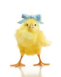 Cute little chicken isolated. On white background royalty free stock photo
