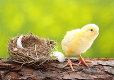 Cute little chicken Royalty Free Stock Photo